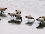 Ibises at Limeburner's Lagoon